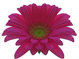 Pink Gerbera by ccmerino, Photography->Flowers gallery