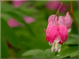Bleeding hearts by wheedance, Photography->Flowers gallery