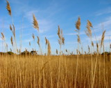 Amber Waves Of Grain by ohpampered1, Photography->Landscape gallery