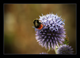 bee and purple by JQ, Photography->Flowers gallery