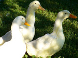 Pekin Ducks by Twig963, Photography->Birds gallery