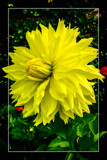 Dahlia Show 19 by corngrowth, photography->flowers gallery