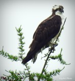 Osprey by GIGIBL, photography->birds gallery