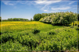 Hawthorns And Buttercups Everywhere by corngrowth, photography->nature gallery