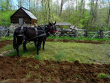 Plowing the Field by marcaribe, Photography->Animals gallery