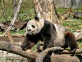 giant panda by jeenie11, Photography->Animals gallery
