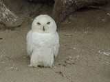 Snowy Owl by Bsm1, photography->birds gallery