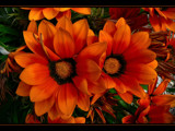 Orange Gazania by LynEve, Photography->Flowers gallery