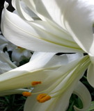 Lily Swoops by Pistos, photography->flowers gallery