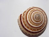 Spiral Seashell by mcwick, photography->macro gallery