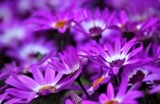 Purple Daisies by rozem061, photography->flowers gallery