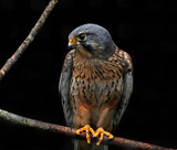 Falco by biffobear, Photography->Birds gallery