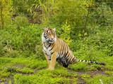 Sumatran Tiger by hamellr, Photography->Animals gallery