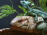 Get off my back! by GomekFlorida, photography->reptiles/amphibians gallery