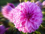 A Pink Explosion by LynEve, photography->flowers gallery