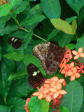Triple Delight by ScoutPic, Photography->Butterflies gallery