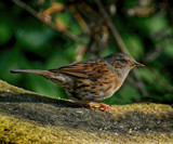 Dunnock by biffobear, photography->birds gallery