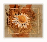 Toasted Daisy by Starglow, photography->manipulation gallery