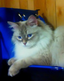 Blue Eyes by mesmerized, photography->pets gallery