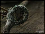 Empty Hummingbird Nest by tigger3, photography->birds gallery