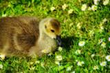 Daisy by biffobear, Photography->Birds gallery