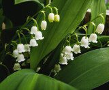 Lily of the Valley by Pistos, photography->flowers gallery