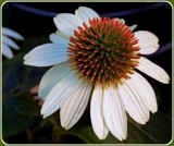 Coneflower by trixxie17, photography->flowers gallery