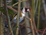 European Goldfinch by biffobear, photography->birds gallery