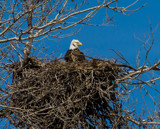 Bald Eagle Nesting by Pistos, photography->birds gallery