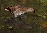 Water Rail by biffobear, photography->birds gallery