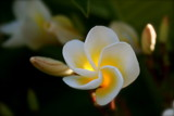 sunlit fragipani by aljahael, photography->flowers gallery