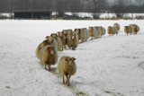 Sheep Marching by Ramad, photography->animals gallery