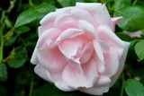 A Rose By Any Name by braces, Photography->Flowers gallery