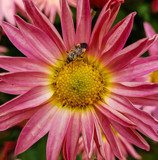 Bug on a Flower (Closer Up) by Pistos, photography->flowers gallery