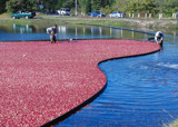 cranberry harvesters by solita17, Photography->People gallery