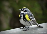 Yellow-rumped warbler by GIGIBL, photography->birds gallery
