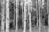 Aspens 1 by BrandyAdams77, Photography->Landscape gallery