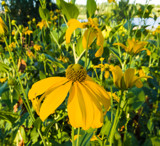 Cutleaf Coneflower by Pistos, photography->flowers gallery