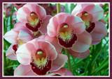 Pink Cymbidium by trixxie17, Photography->Flowers gallery