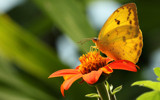 A yellow butterfy by Paul_Gerritsen, photography->butterflies gallery