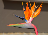 """Bird of Paradise"" by icedancer, photography->flowers gallery"