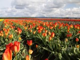 2010 Orange and yellow tulips by auroraobers, Photography->Flowers gallery