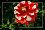 Dahlia Show 34 by corngrowth, photography->flowers gallery