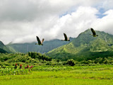 nene(s) flying through hanalei by jeenie11, Photography->Birds gallery
