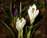 Crocus by trixxie17, photography->manipulation gallery