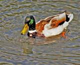 Mallard by biffobear, photography->birds gallery