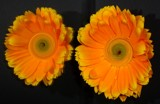 Gerberas by ccmerino, photography->flowers gallery