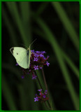 A Natural Garden Decoration #2-For Susanne by tigger3, photography->butterflies gallery