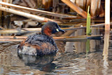 Little Grebe by biffobear, photography->birds gallery