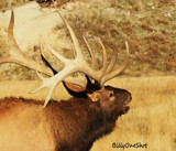 Bugler ( For Tick ) by billyoneshot, photography->animals gallery